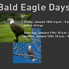 Bald Eagle Days Landing in the Quad Cities