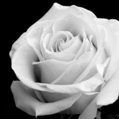 Davenport's German American Heritage Center Offering A White Rose