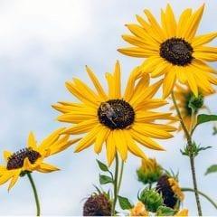 Kindernature Summer Sunflowers Bloom At Botanical Center