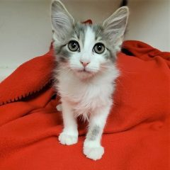 Looking To Adopt A Kitty? Meet Fluffy, The Latest Quad-Cities Pet Of The Week